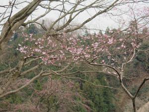 Kosinohiganzakura